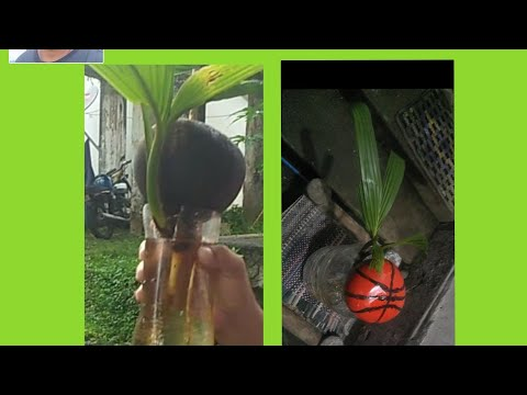Maintaining Of Good Looking Coconut Bonsai And Beautiful Design With Aquarium Fish Vlog#4