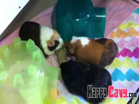 Cheap diy guinea pig toy hay filled cardboard roll for Diy guinea pig things