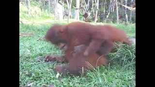 Orangutan Outreach Adoption Update 2009