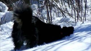 Australian Shepherd Husky Mix Shows How To Make Snow Dog Angels