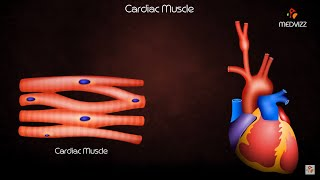 phases of cardiac action potential
