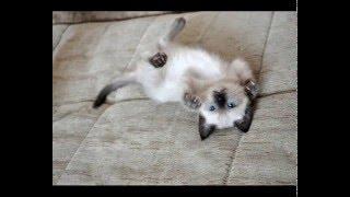 Тайские котята, д.р.04/12/2015