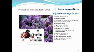 Tuto jardin: Lobularia maritima Alyssum snow: plante annuelle fiche technique plante annuelle