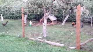 Kury zielononóżki kuropatwiane.