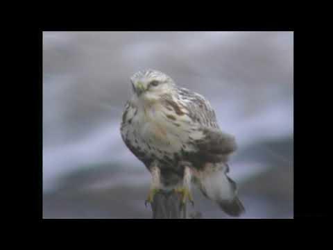 ケアシノスリ(2)稀な冬鳥(各地) - Rough-legged