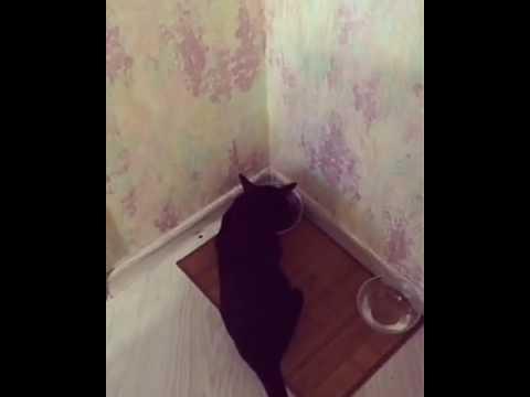 Говорящий ориентальный кот Лаврентий / Speaking oriental cat Lavrentiy