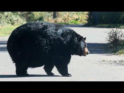 A Really Round Bear