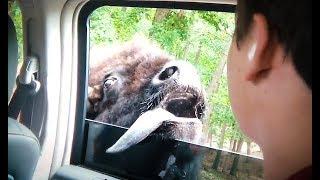 Coole Videos #358: Begegnung mit dem Büffel || ✪ Stern DuTube