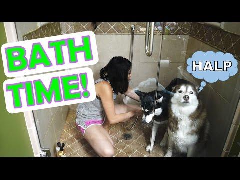 SIBERIAN HUSKY | Bath time!