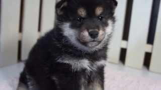 関西・中部の柴犬子犬販売 http://www.moo-pon.com/siba 三重県を中心に...