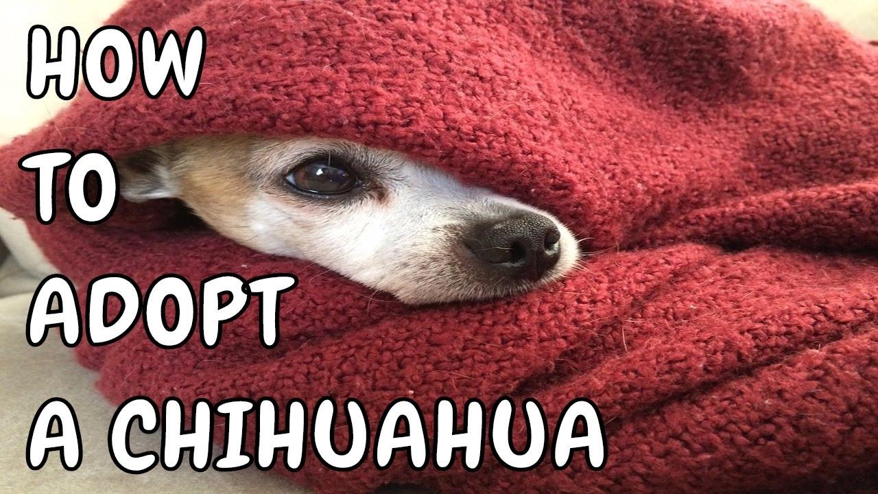 How To Adopt A Chihuahua Free Chihuahua Puppies Adoption