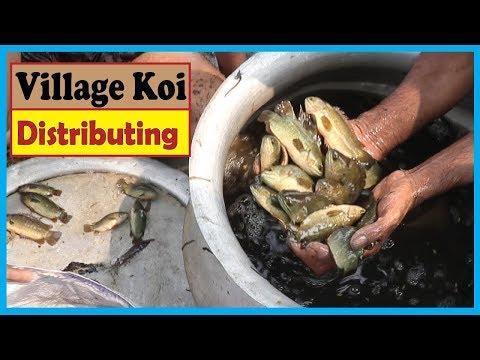 Village Fish Distributor Allotting Golden Koi after Using a Long Fishlake   Fish Corn