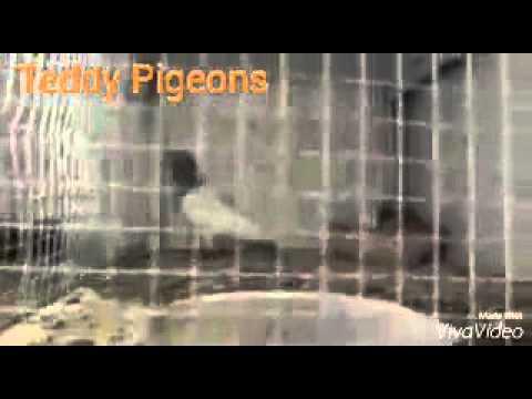 Teddy Pigeons at Doha (Abdullah's Loft)