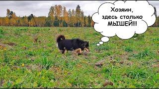 Собака Марта гуляет в поле. Наступила золотая осень