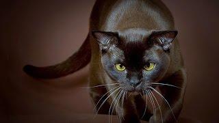 Порода кошек. Бурманская кошка.Одна из самых красивых пород кошек