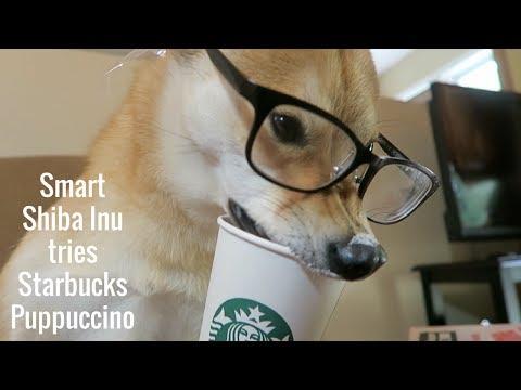 Shiba Inu Tries Starbucks Puppuccino   Taste it Tuesdays