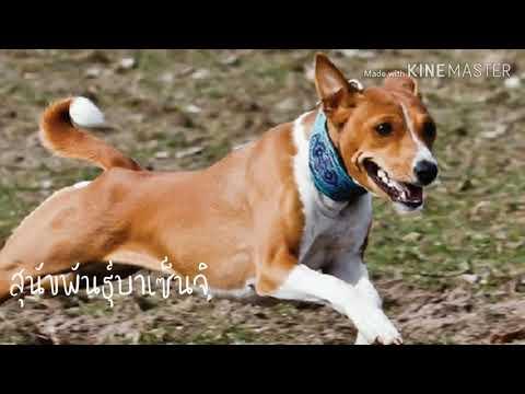 [นมเนย อยากเล่า]สุนัขที่ไม่เคยเห่าบาเซ็นจิ
