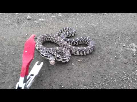 Gopher Snake Hissing