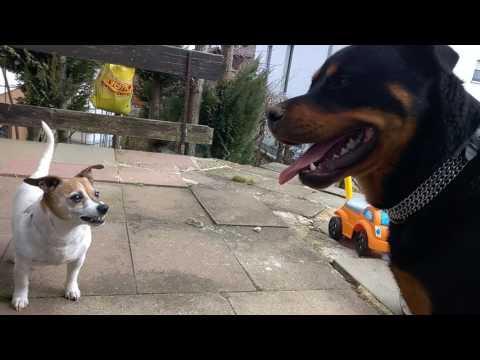 Jack Russell Terrier attacks Rottweiler
