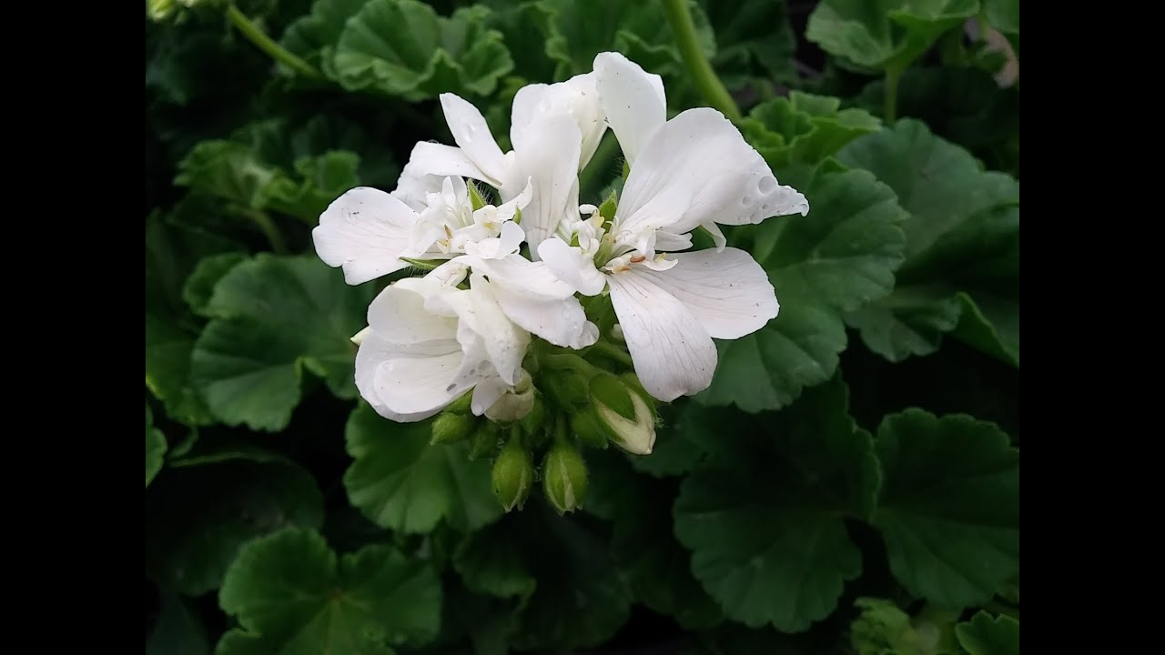 Pelargonium zonale el geranio youtube for Geranio zonale