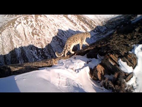 Snow Leopards Caught by Cameras  56 Times in Three Months in Tibet