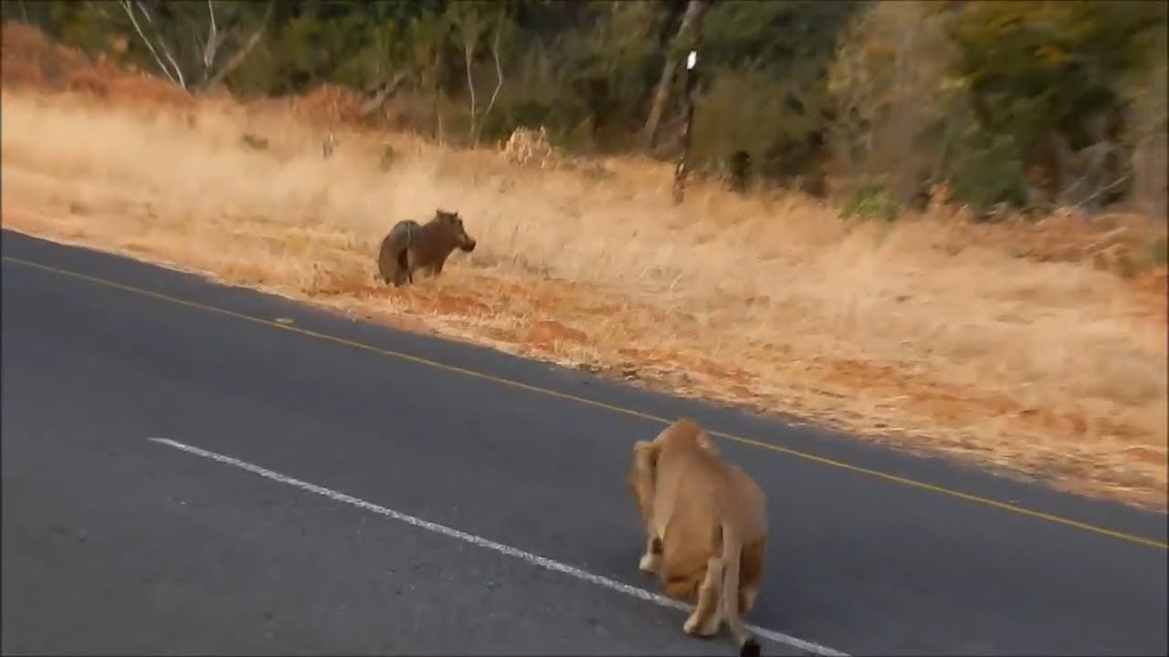 Warthog doesnt hear the lion coming