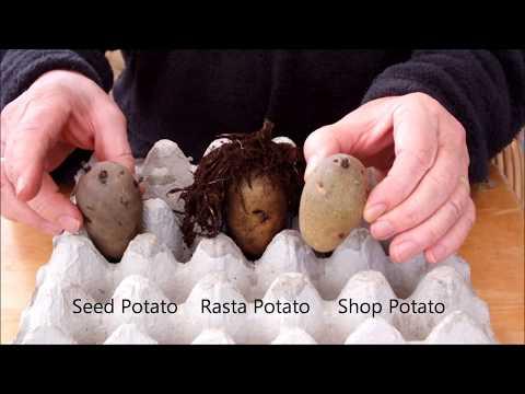 HGV How to grow Rasta Potatoes Three pot potato reveal. Start to Finish