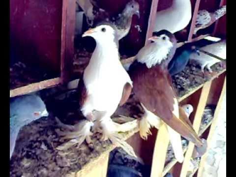 kabootar of sheikh ali amin and Viky Shah Lahore no  1 pigeons