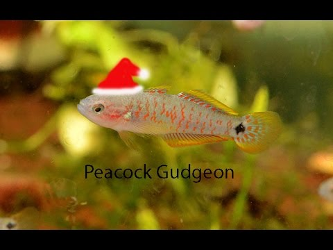 Peacock Gudgeon- Bold And Beautiful!