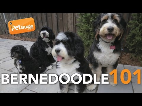 Bernedoodle Dogs 101: Is a Bernedoodle Right for You?