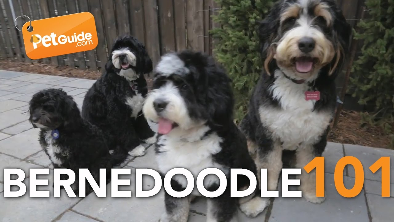 Poodle Mixes – Guide, Sizes, Shedding, FAQ & List of Poodle