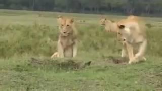 136❃ Con cầy nhỏ đánh đuổi đàn sư tử Thế giới động vật hoang dã tổng hợp 2016