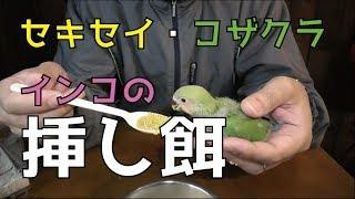セキセイインコとコザクラインコの雛に挿し餌を与えてるところの動画です。