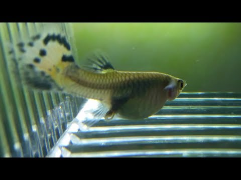 Female Guppy Giving Birth And Eating Its Own Fry. Guppy Fry Stuck In Birth Canal