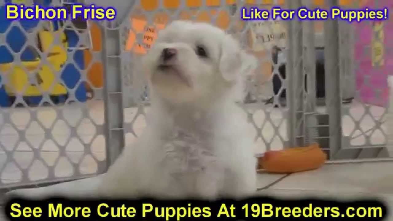 Bichon Frise, Puppies, Dogs, For Sale, In Huntington, County, West  Virginia, WV, 19Breeders