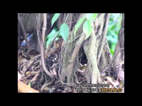 Giai đoạn chuyển cây/Caycanhthanglong.vn