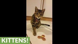 Fidget Spinner absolutely amazes kitten