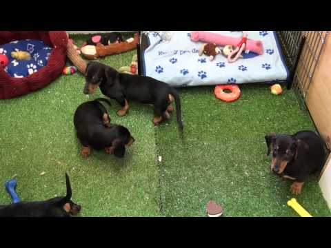 Little Rascals Uk breeders New litter of standard Dachshund babies - Puppies for Sale 2015