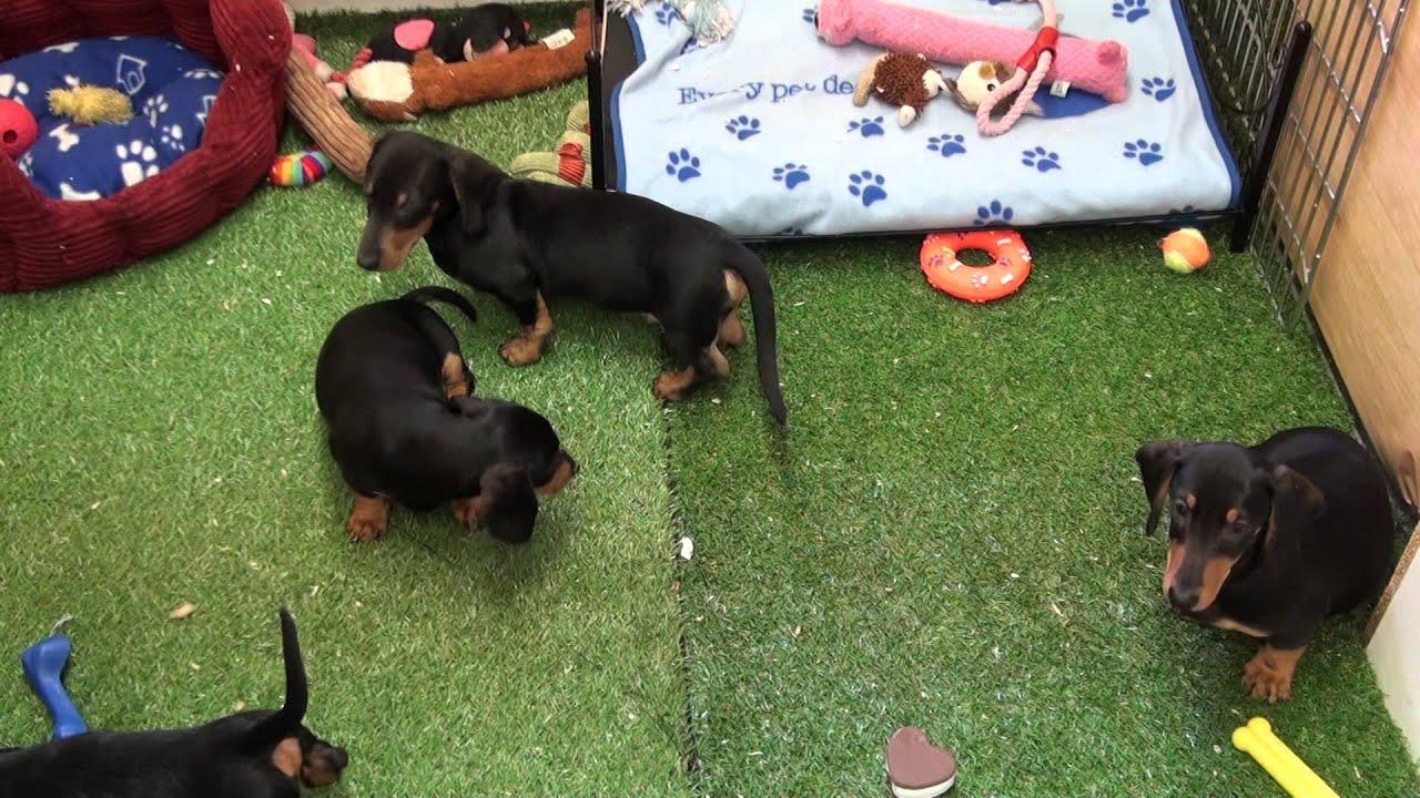 Little Rascals Uk breeders New litter of standard Dachshund babies -  Puppies for Sale 2015