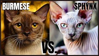 Burmese Cat VS. Sphynx Cat