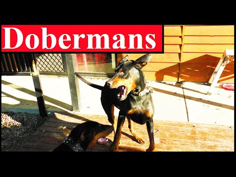 Two Female Dobermans Are Hilarious Playing: Catch Me If You Can: Dog Fights: 4k