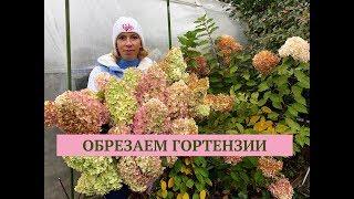Осенняя обрезка гортензии. Пора сажать чеснок. Программа Дачные сезоны 11.10.18