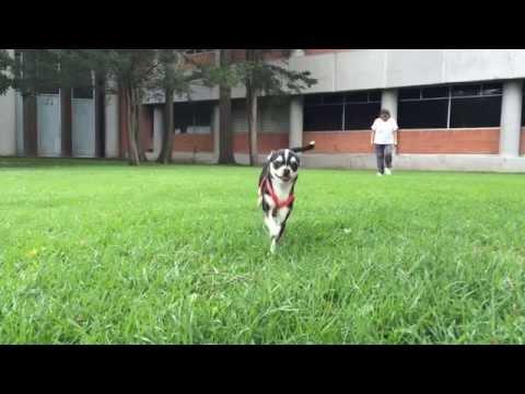 Chihuahua Salmita Slow Motion Run