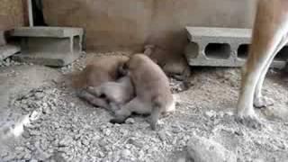 山陰柴犬の子犬.