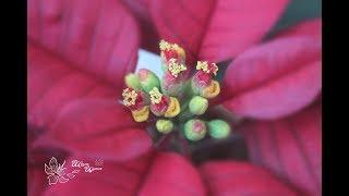 Цветы пуансетии из фоамирана. МК Анны Куницыной