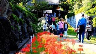 横浜市港北区新羽町の西方寺のヒガンバナ約2000株が見ごろを迎えていま...