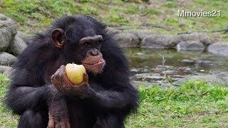 秋田県秋田市の大森山動物園のチンパンジーたち。 まんまタイムのようす...