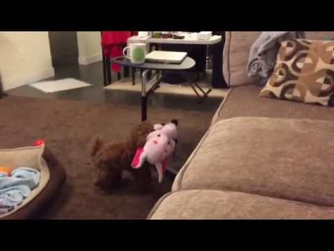 Toy Poodle Struggles to Get Big Toy on Couch