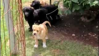 Golden Retriever Mix Puppies For Sale