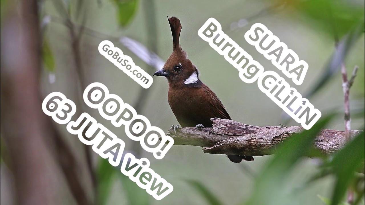 Pancingan Suara Burung Cililin Bening Asli Gacor Mp3 Platylophus Galericulatus Youtube